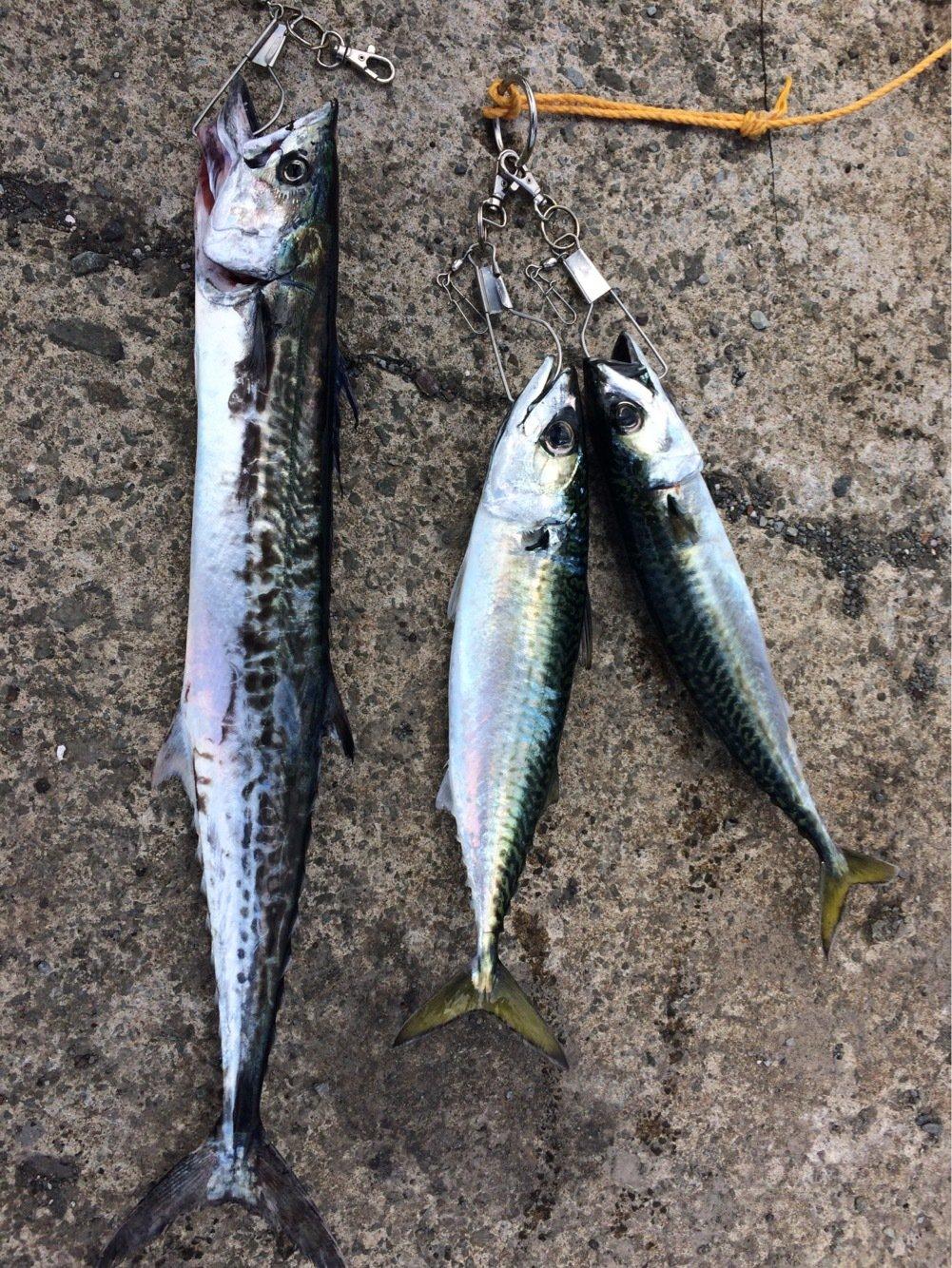 クラゲさんの投稿画像,写っている魚はサワラ