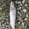 よしおさんの滋賀県犬上郡での釣果写真