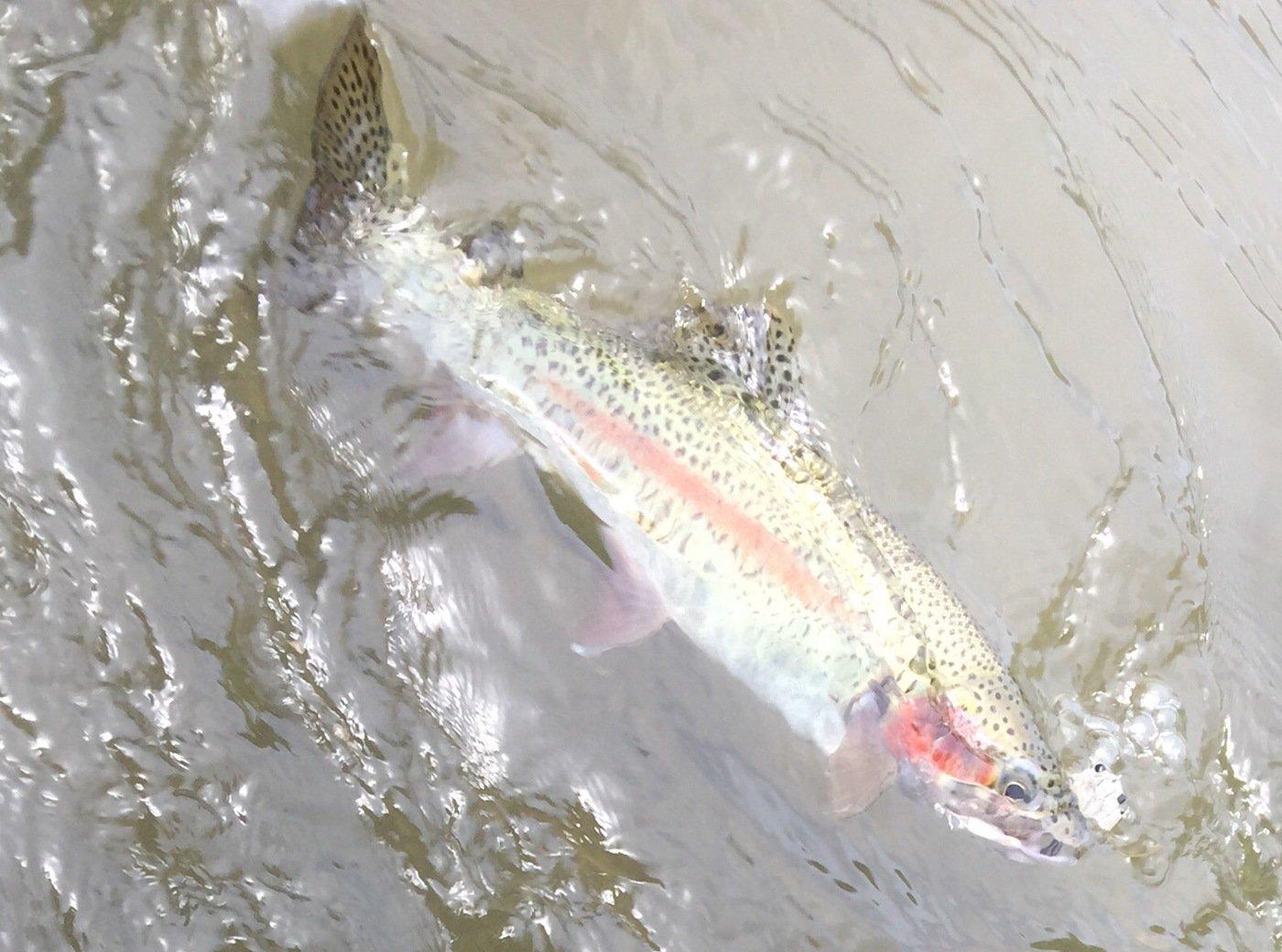 ちーさんの投稿画像,写っている魚はニジマス