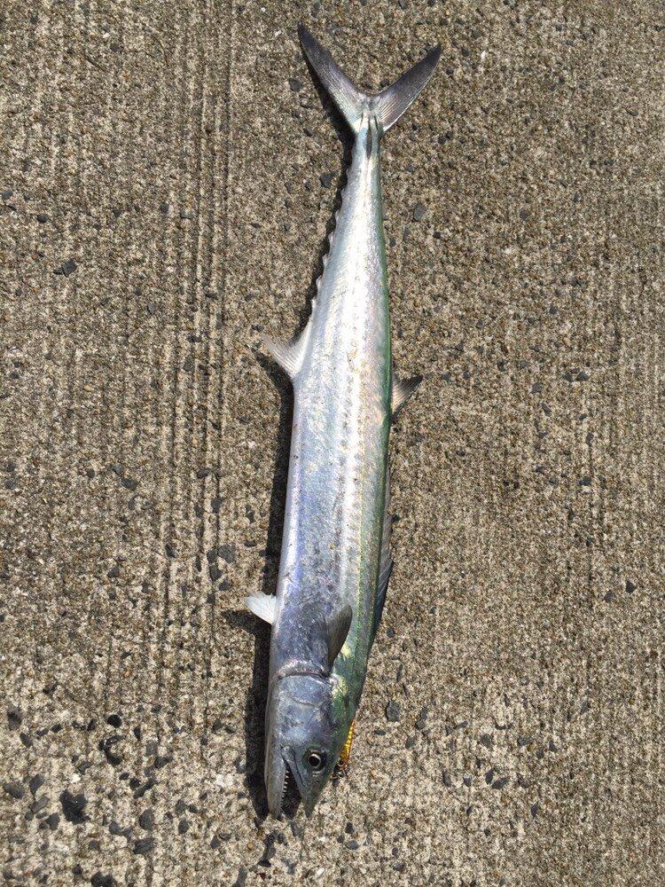 タバサキスさんの投稿画像,写っている魚はサワラ
