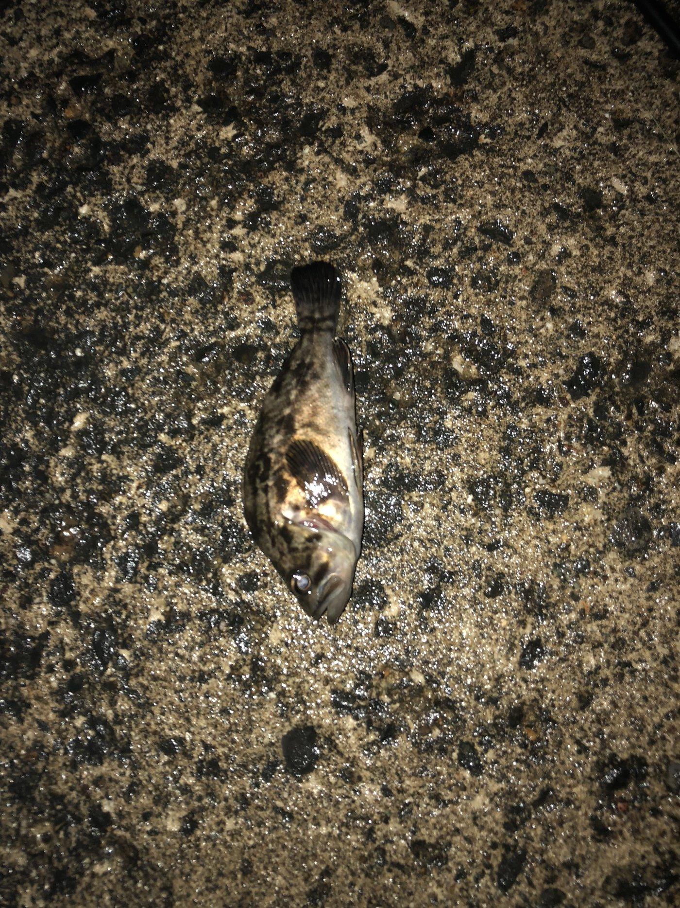 こたさんの投稿画像,写っている魚はタケノコメバル