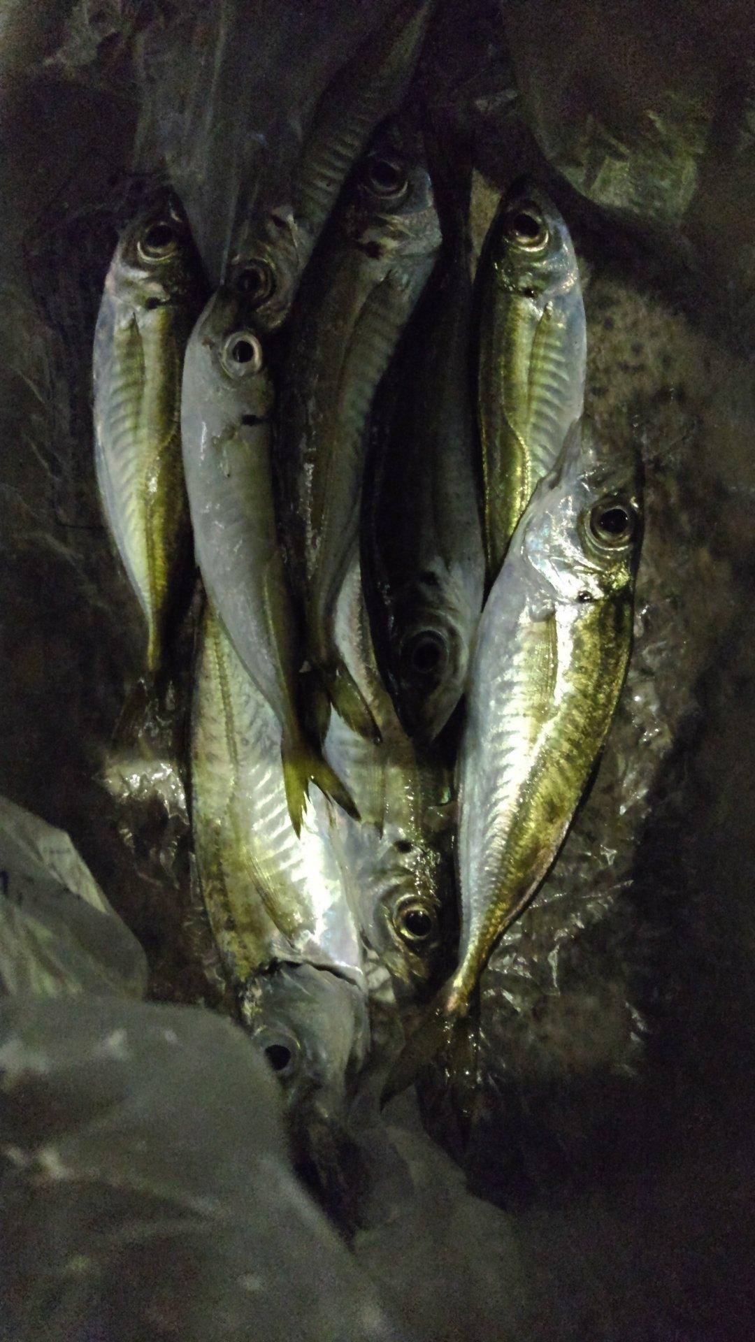 ひでみさんの投稿画像,写っている魚はアジ