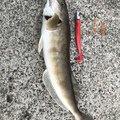 うぐいハンターさんの北海道古平郡での釣果写真