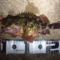 Atsu450さんの長崎県松浦市でのカサゴの釣果写真