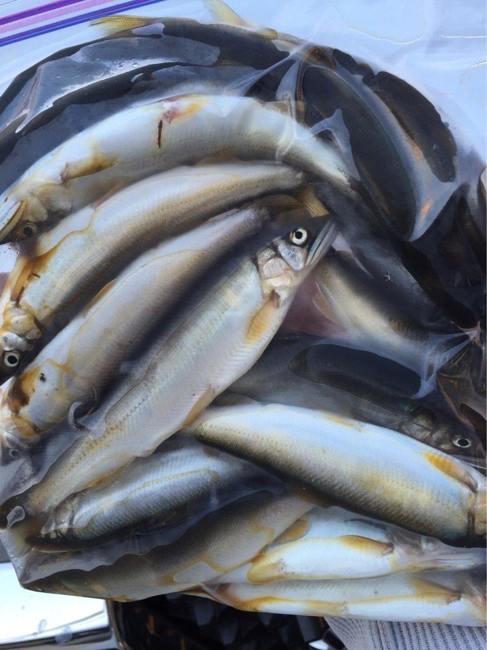 神保さんさんの投稿画像,写っている魚はアユ
