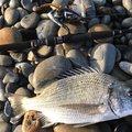 BBAさんの鹿児島県奄美市でのクロダイの釣果写真