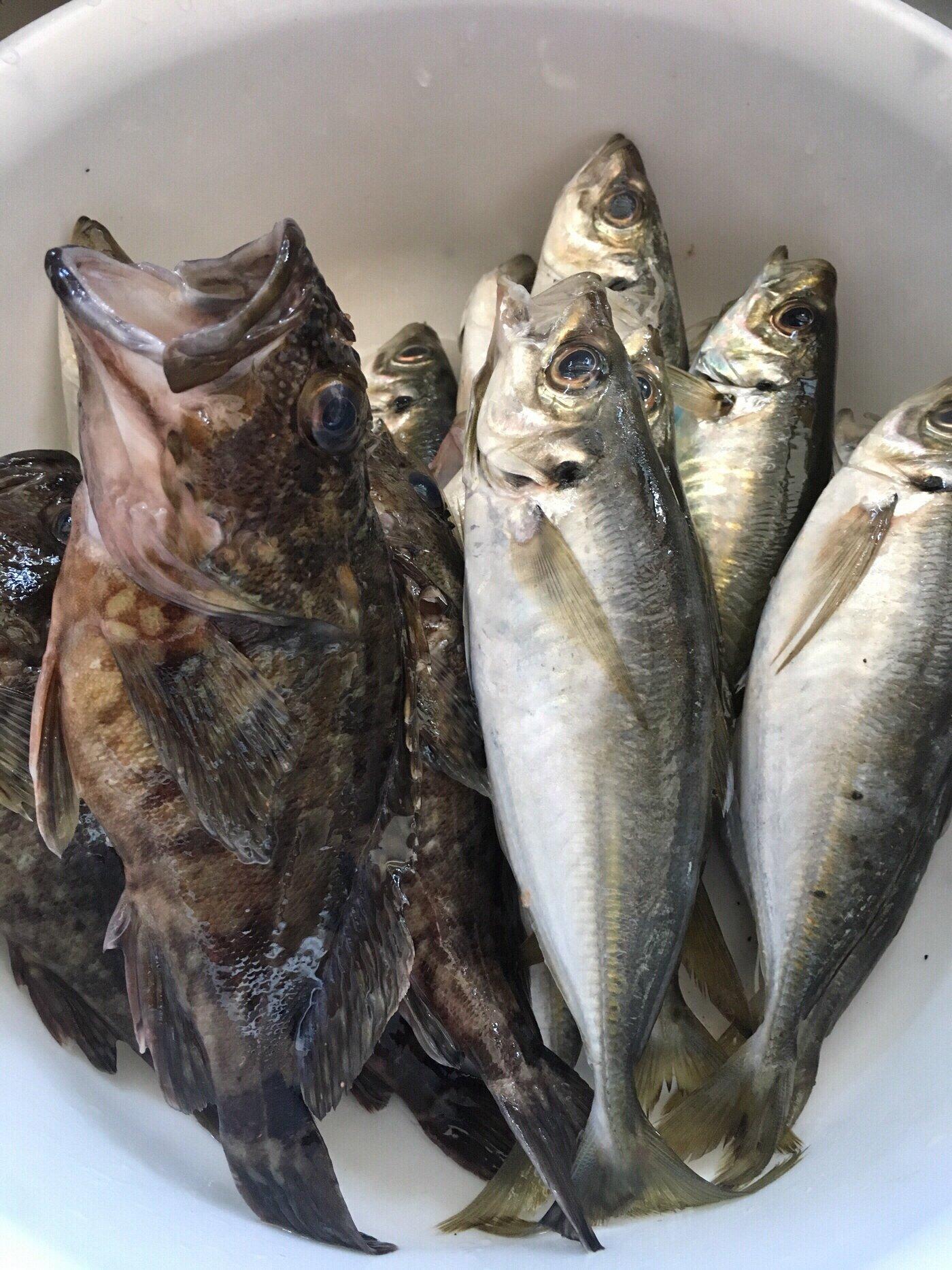D子さんの投稿画像,写っている魚はアジ,カサゴ