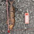 kathuさんの北海道函館市でのアイナメの釣果写真