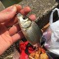 Shunさんの千葉県印西市での釣果写真