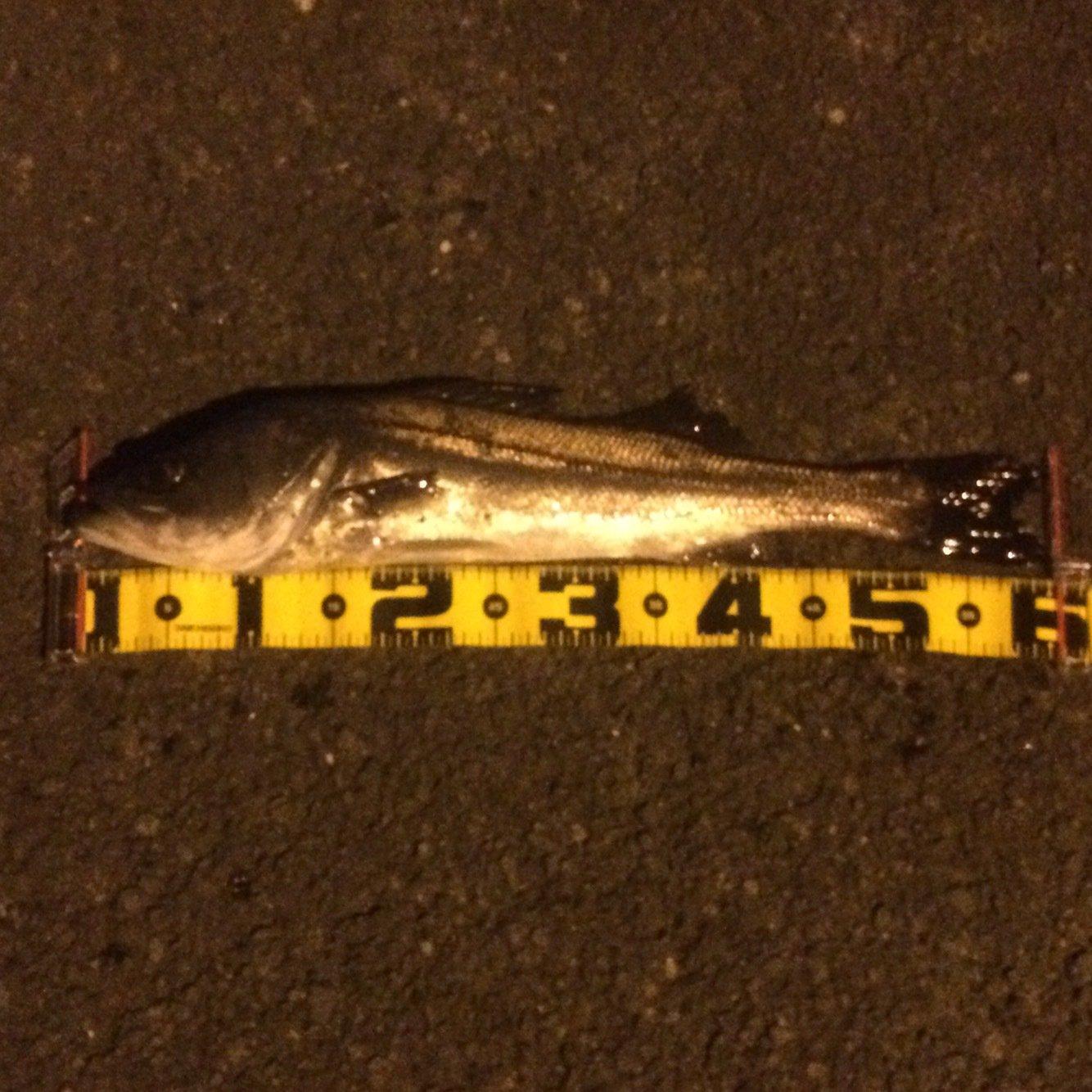 カトちゃんさんの投稿画像,写っている魚はスズキ
