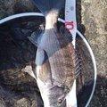 便所サンダルマンさんの千葉県安房郡でのクロダイの釣果写真