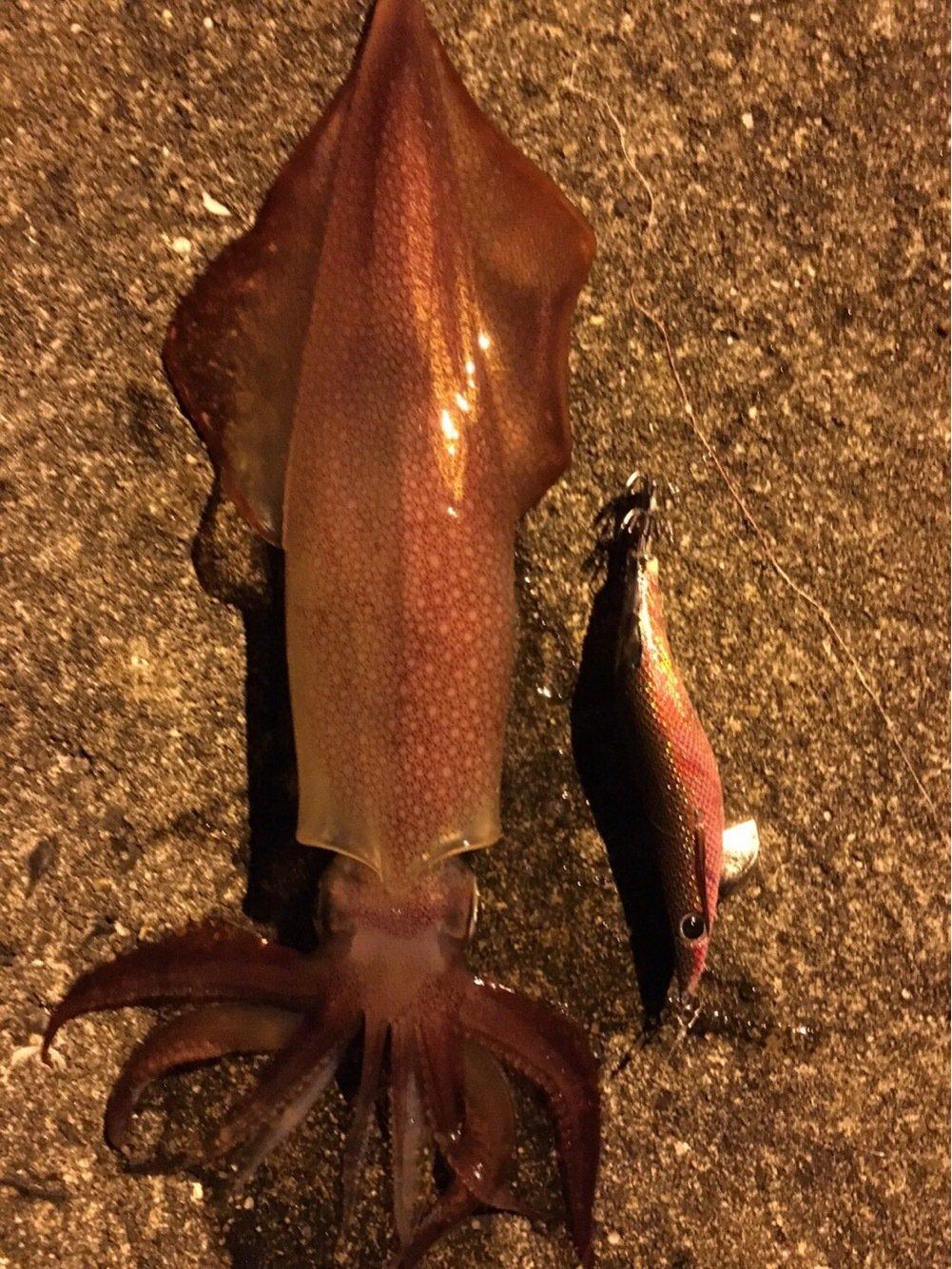 のでぃさんの投稿画像,写っている魚はケンサキイカ