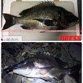SBHさんの熊本県天草郡でのクロダイの釣果写真