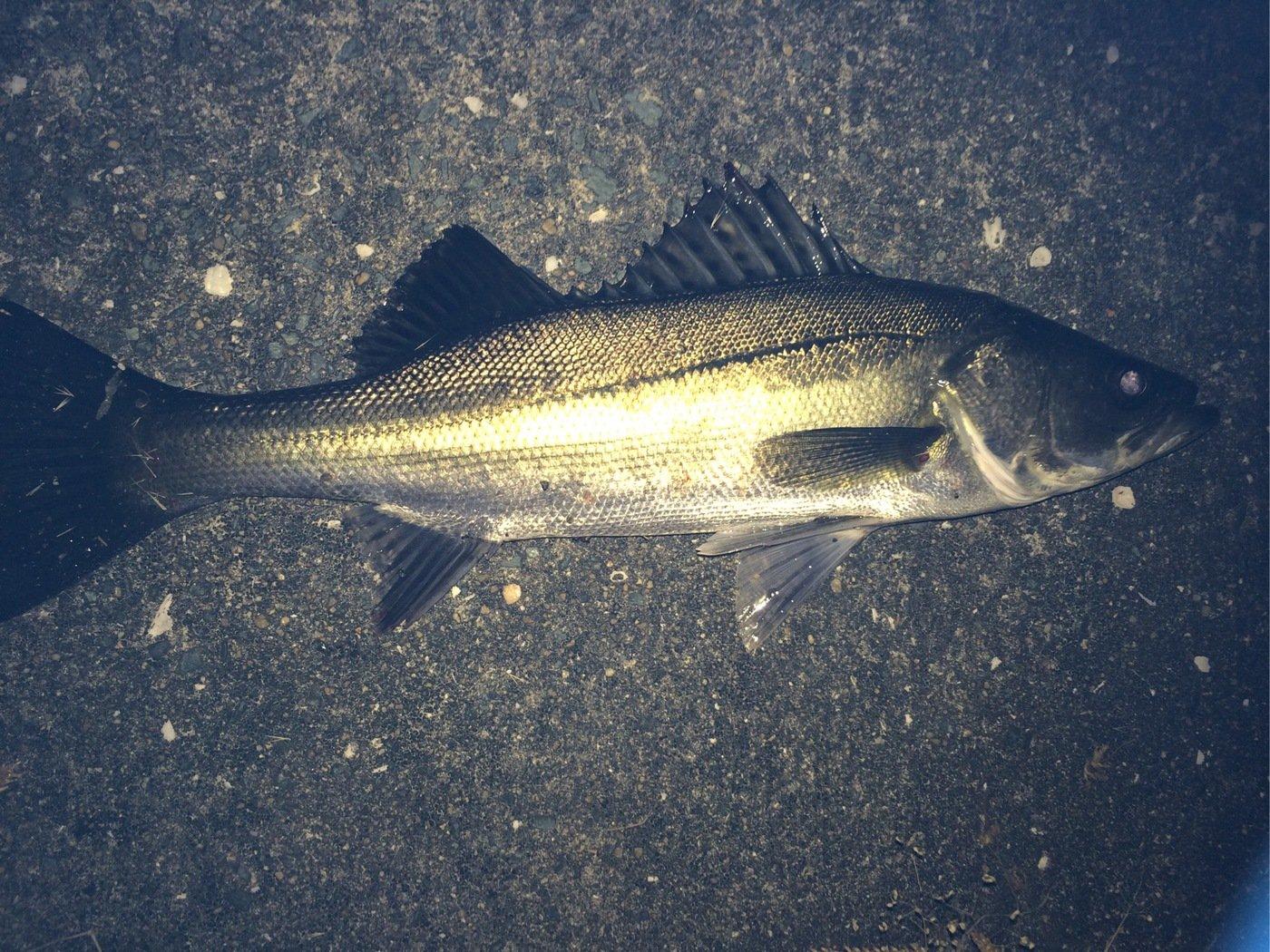 狩人さんの投稿画像,写っている魚はスズキ