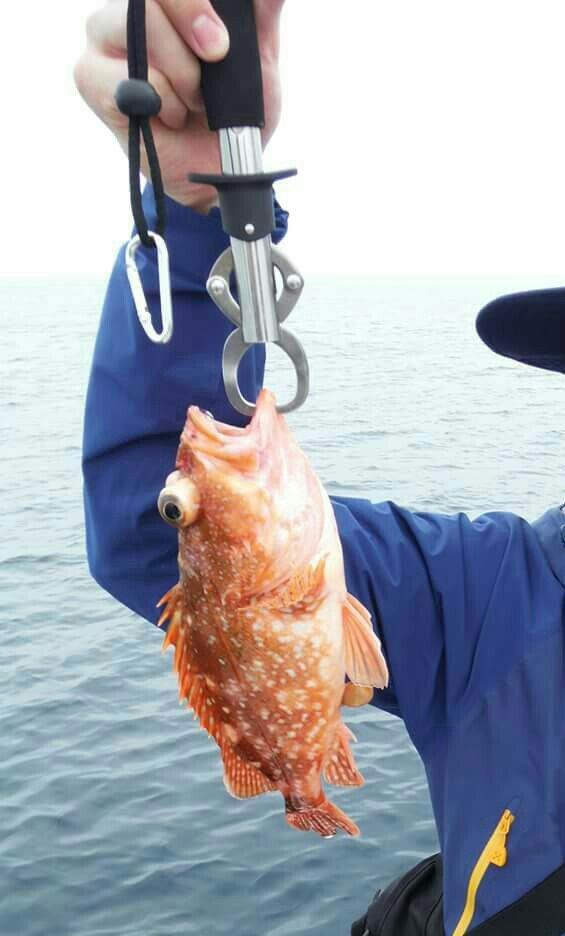 たひらさんの投稿画像,写っている魚はカサゴ