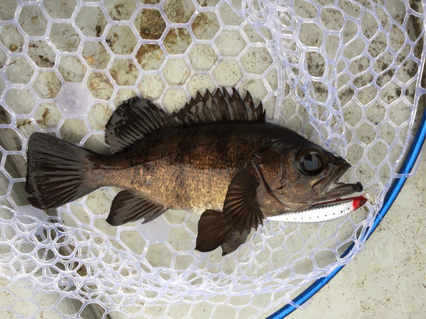 ドカさんの投稿画像,写っている魚はメバル