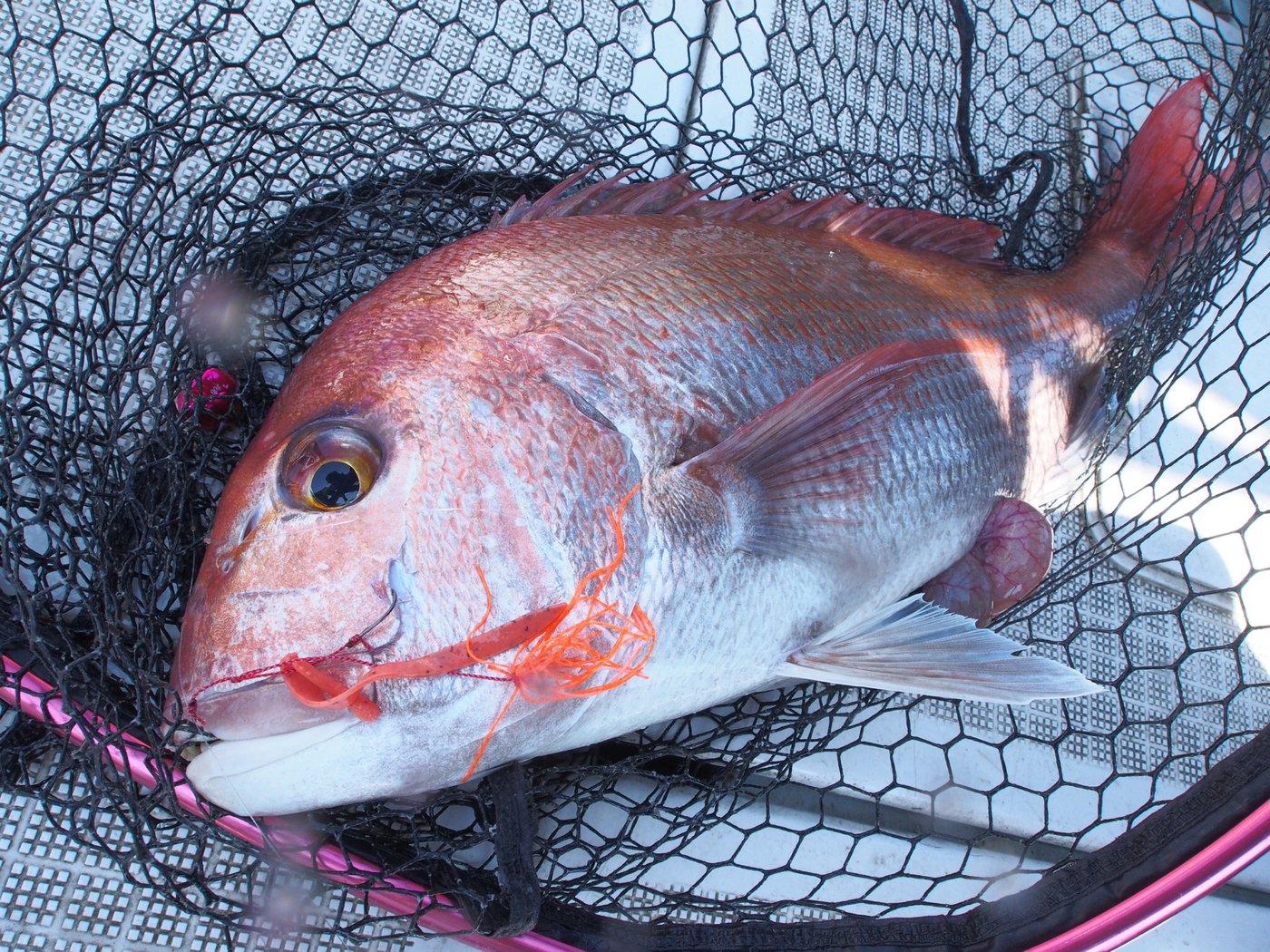 ひょーどるさんの投稿画像,写っている魚はマダイ