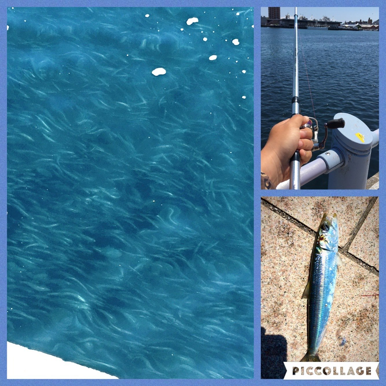 0138STYLEさんの投稿画像,写っている魚はカタボシイワシ