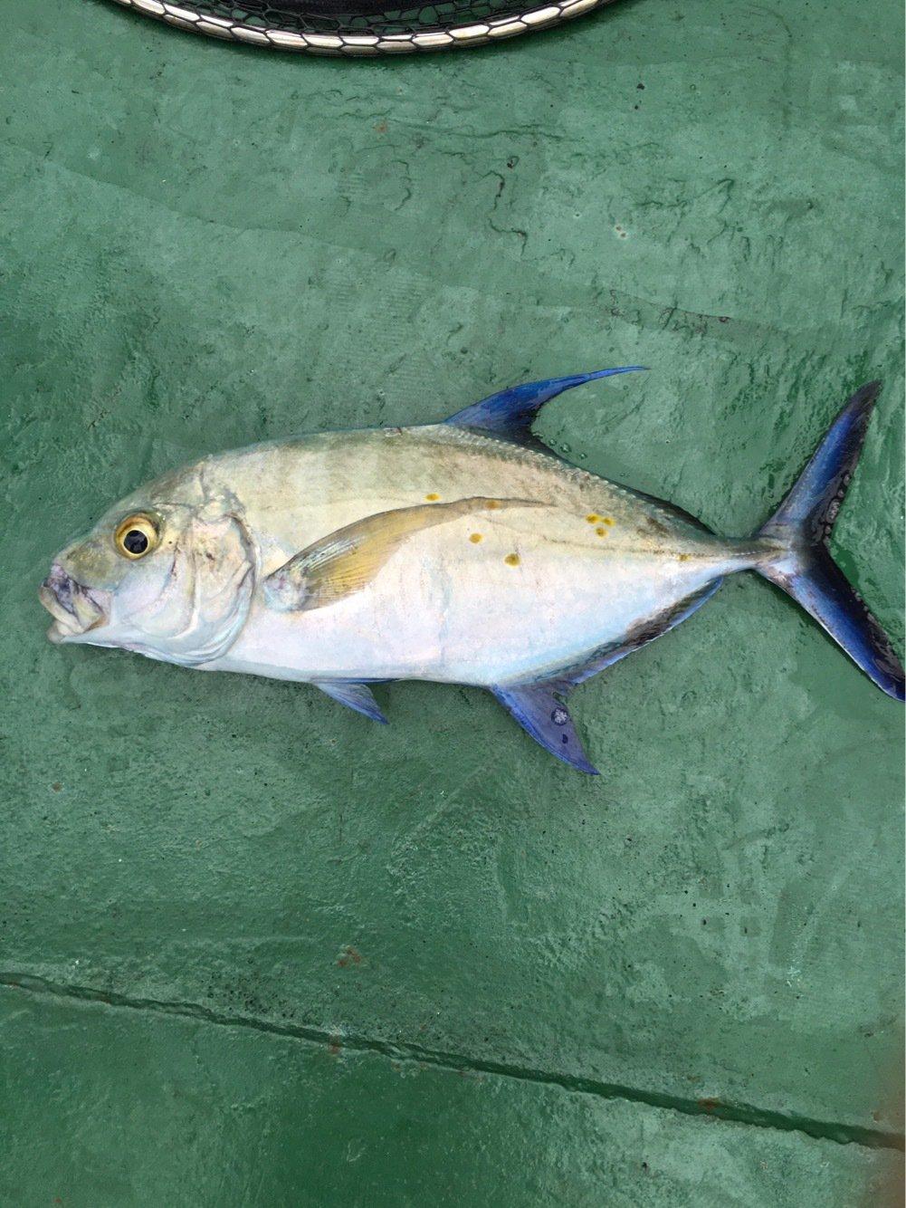 Kennyさんの投稿画像,写っている魚はカイワリ