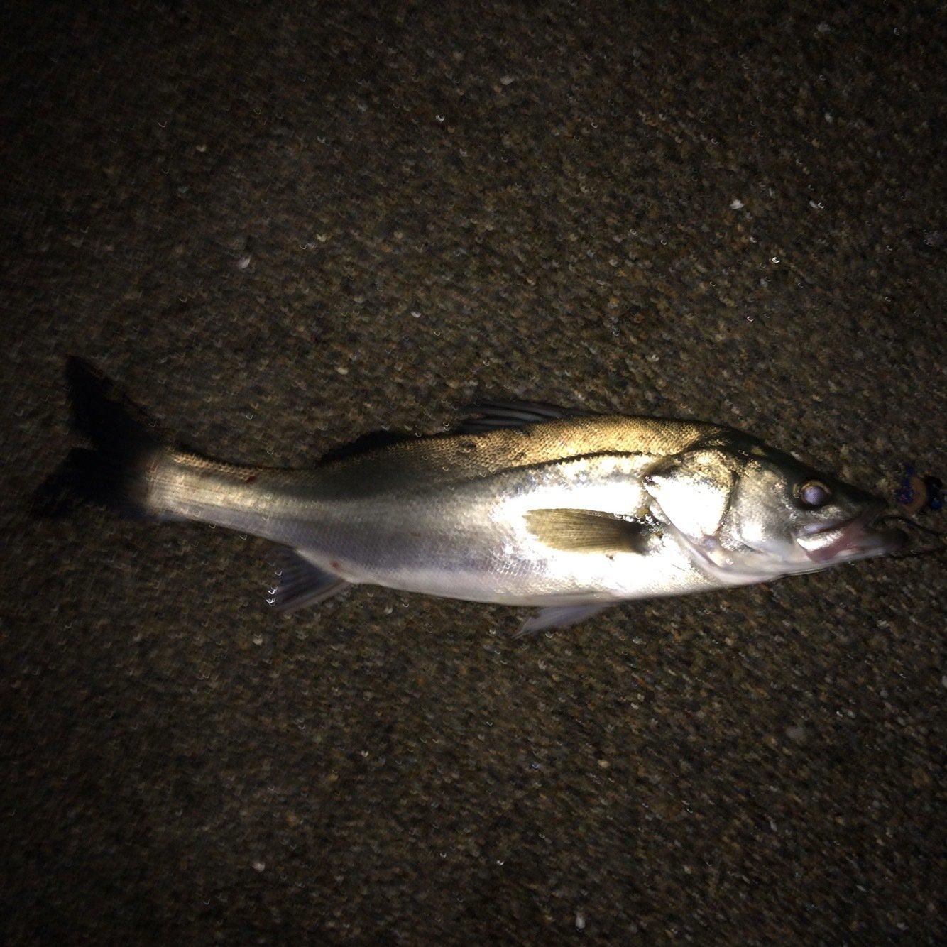 影武者 Kさんの投稿画像,写っている魚は