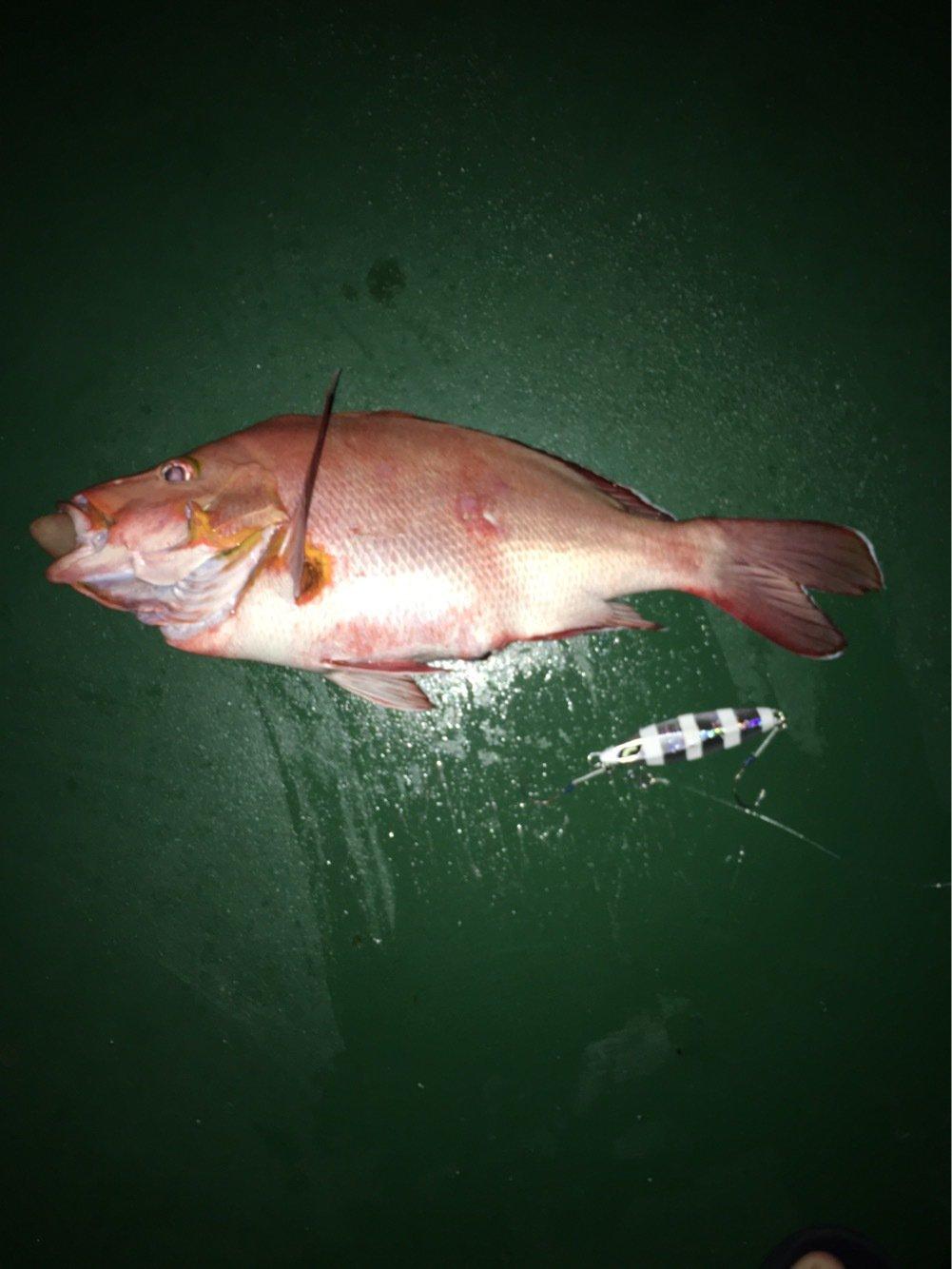 Kennyさんの投稿画像,写っている魚はフエダイ
