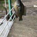 おかっぱりあんぐらーずさんの和歌山県岩出市での釣果写真