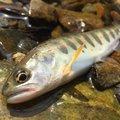 taketonbowさんの京都府亀岡市での釣果写真