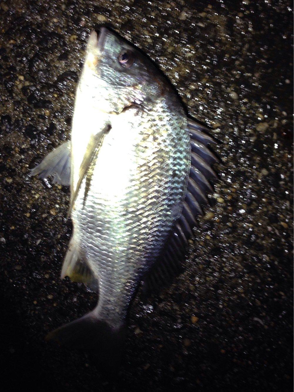 まるさんの投稿画像,写っている魚はキチヌ