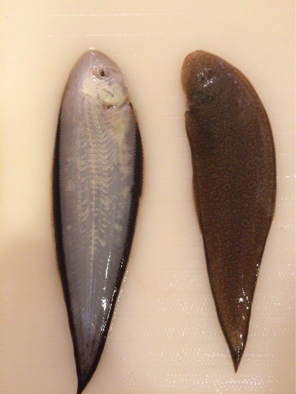 Furious Templarさんの投稿画像,写っている魚はクロウシノシタ