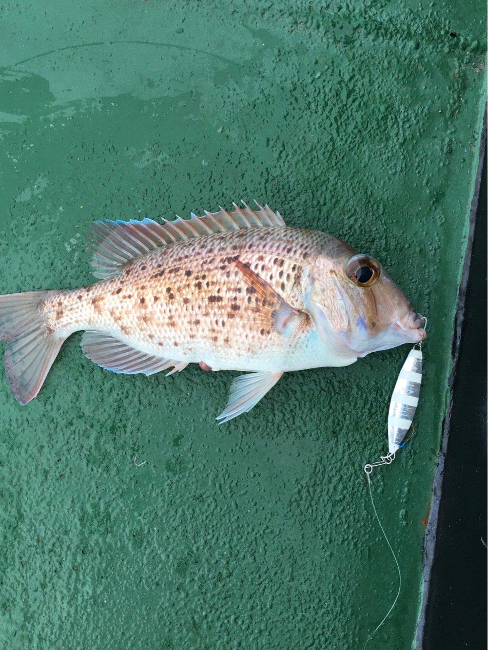 Kennyさんの投稿画像,写っている魚はシロダイ