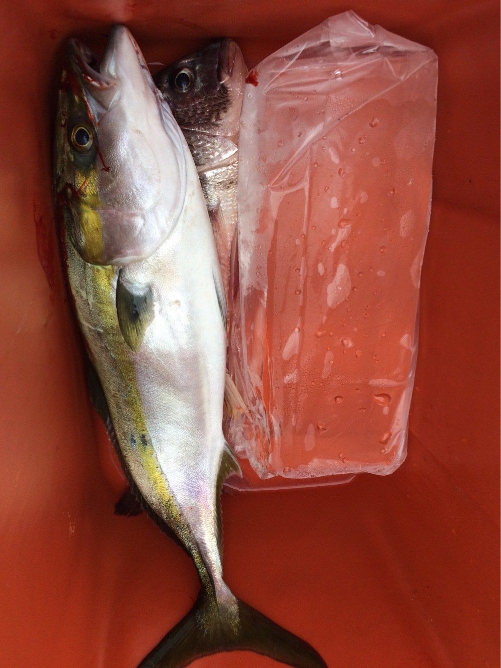 シーバスハンターさんの投稿画像,写っている魚はブリ