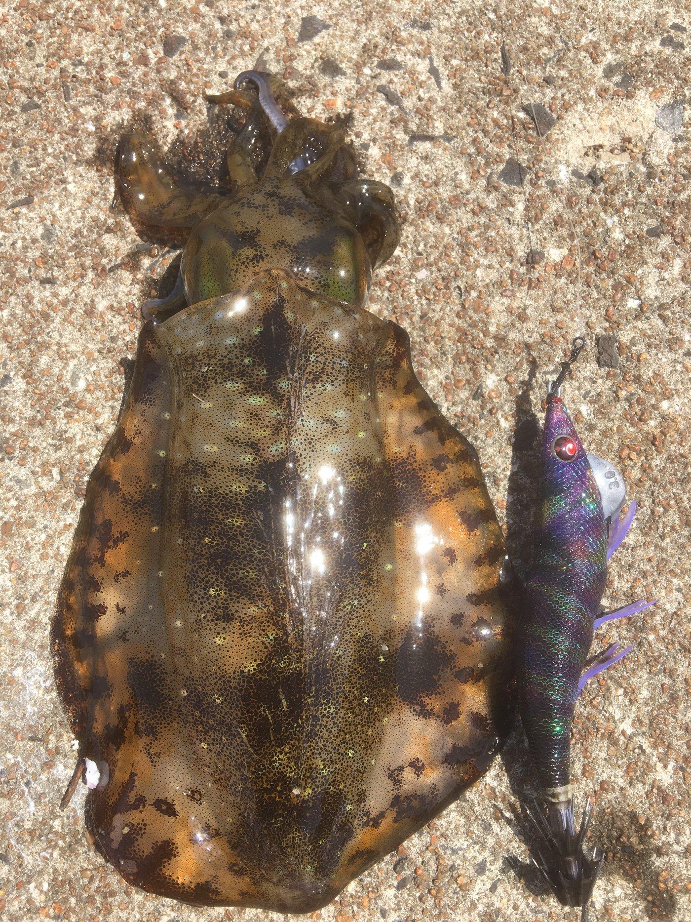 あきのしんさんの投稿画像,写っている魚はアオリイカ