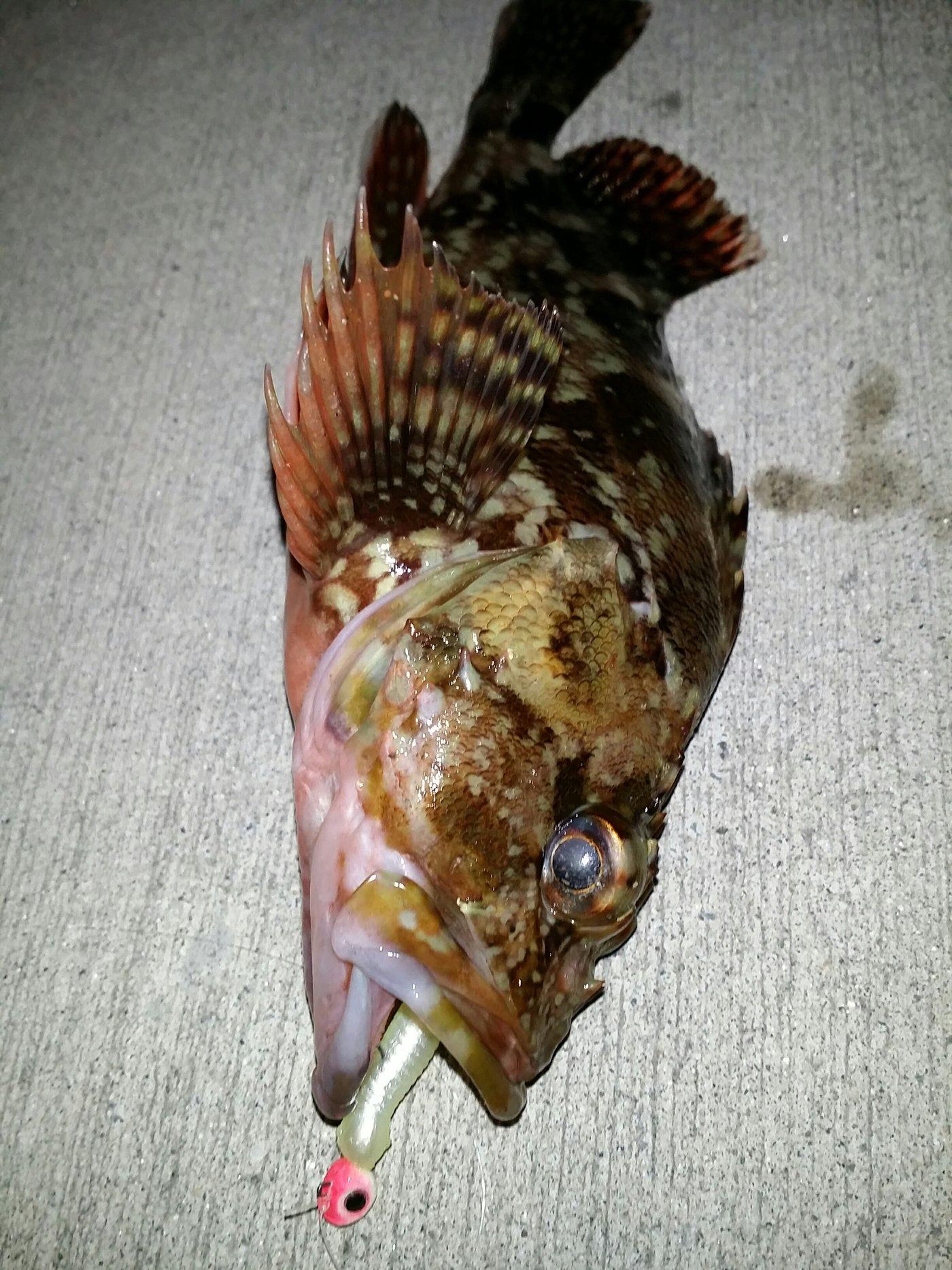 しょうへいさんの投稿画像,写っている魚はカサゴ