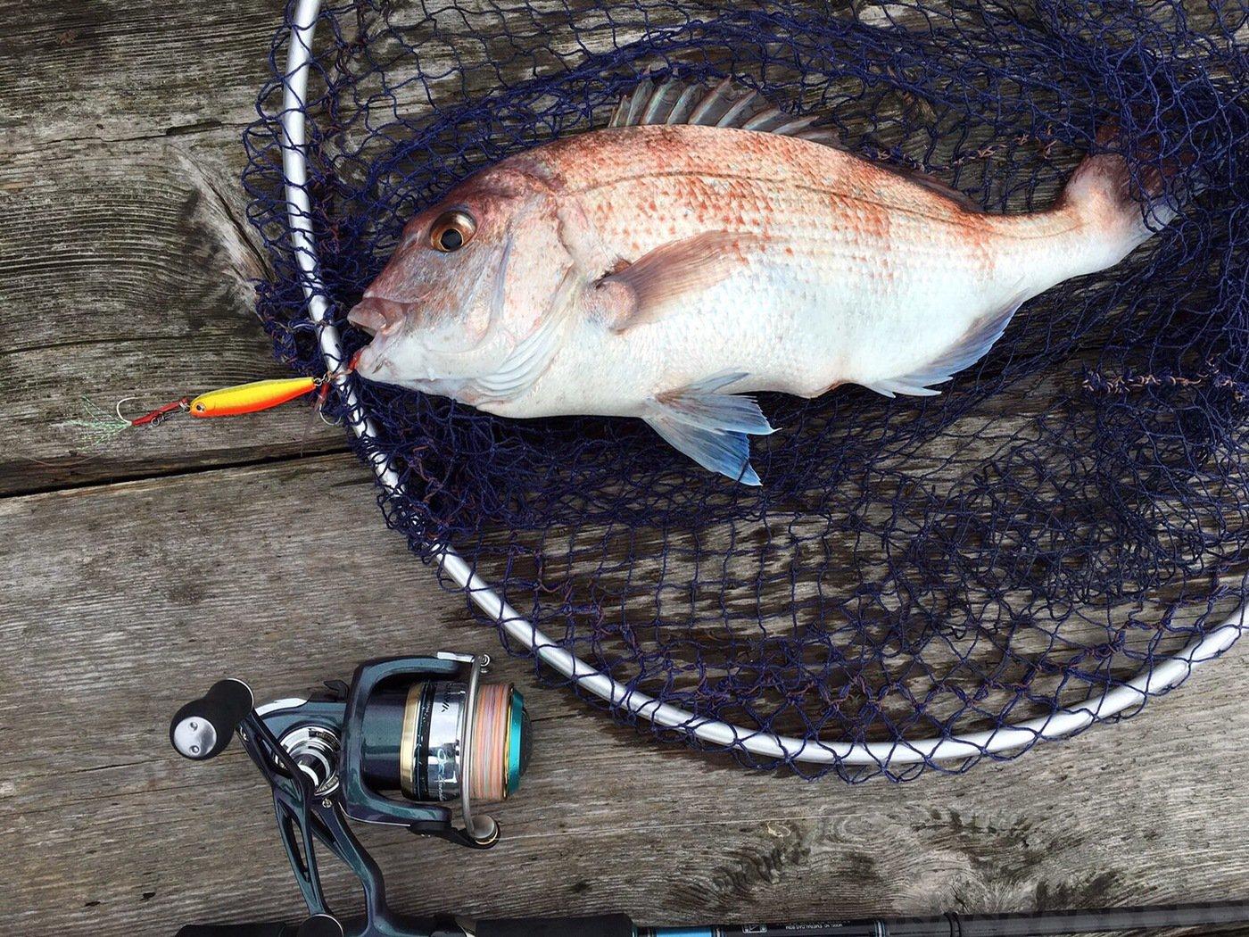 ゆーやさんの投稿画像,写っている魚はマダイ