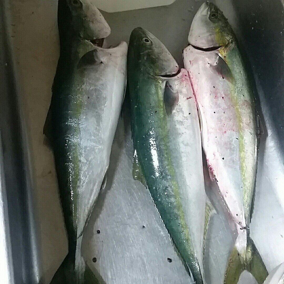 かーくんさんの投稿画像,写っている魚はブリ