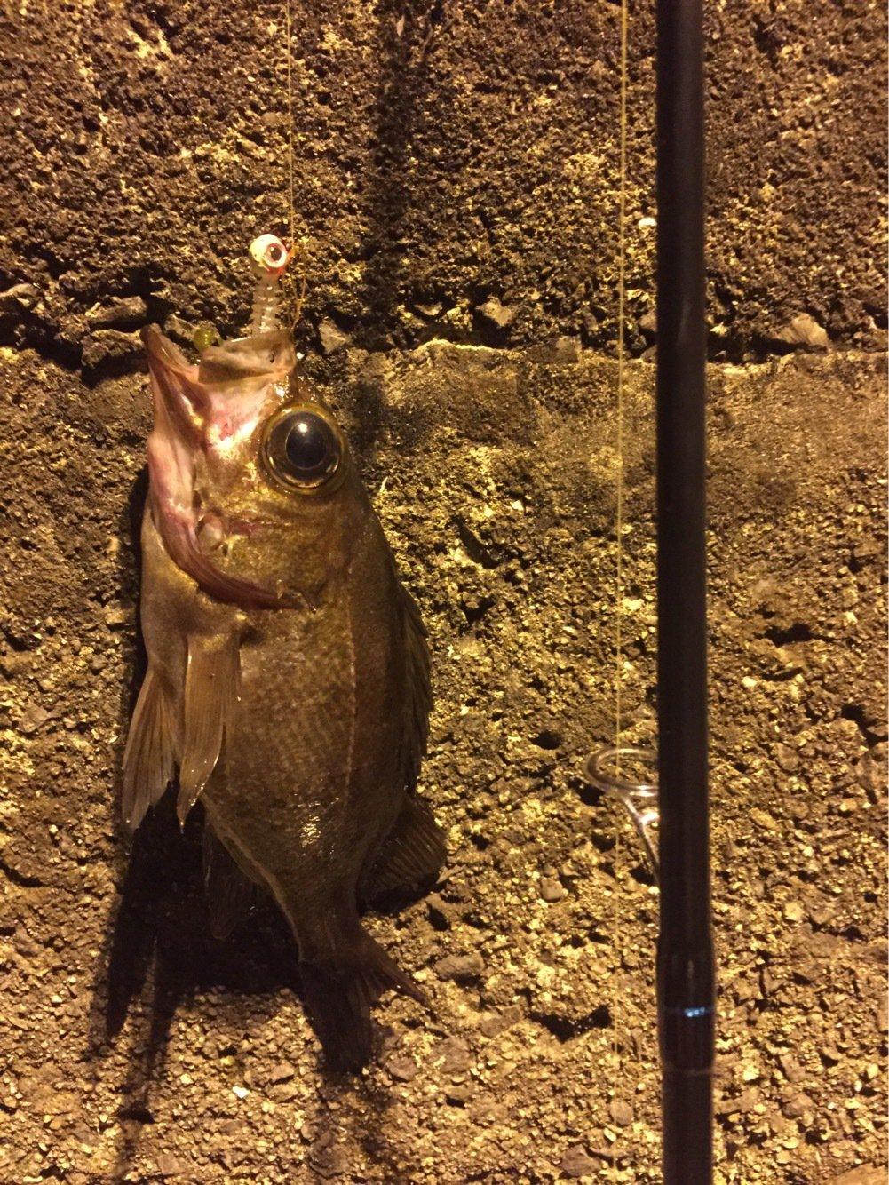 ギョテーテル親分さんの投稿画像,写っている魚はメバル