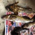 キイチさんの青森県青森市でのアイナメの釣果写真