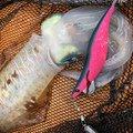 一平さんの沖縄県那覇市でのアオリイカの釣果写真