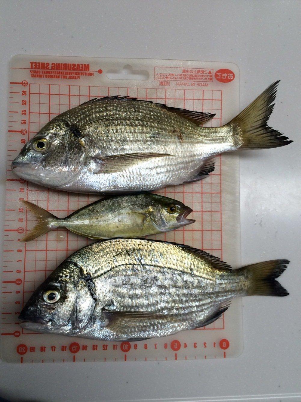 カンタダさんの投稿画像,写っている魚はクロダイ