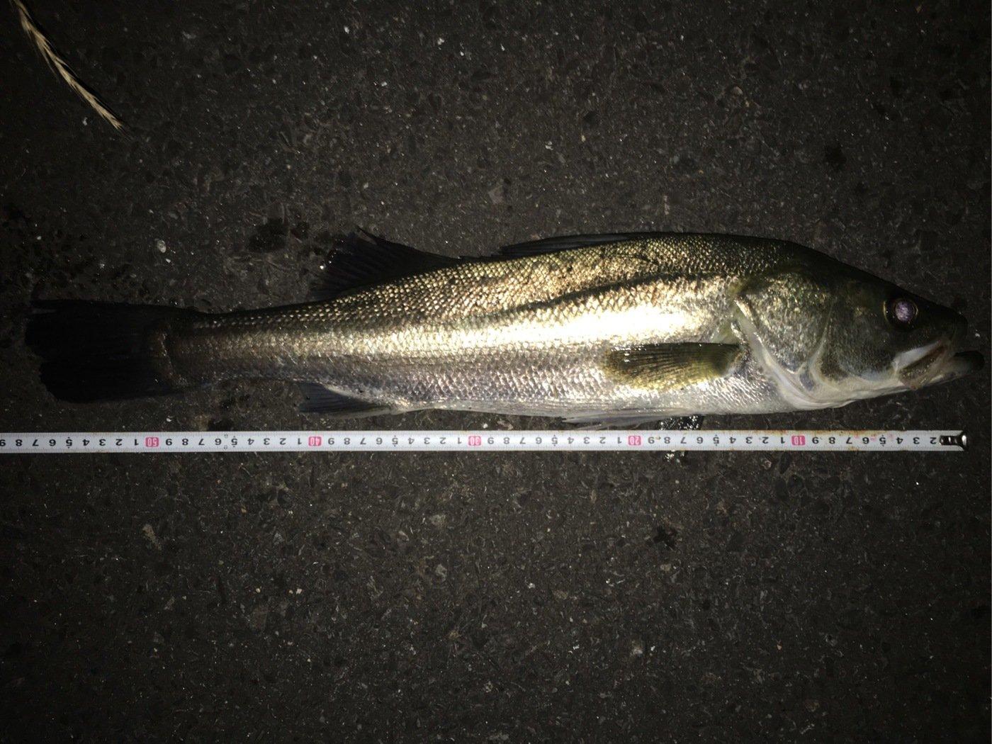 サボテンさんの投稿画像,写っている魚はスズキ
