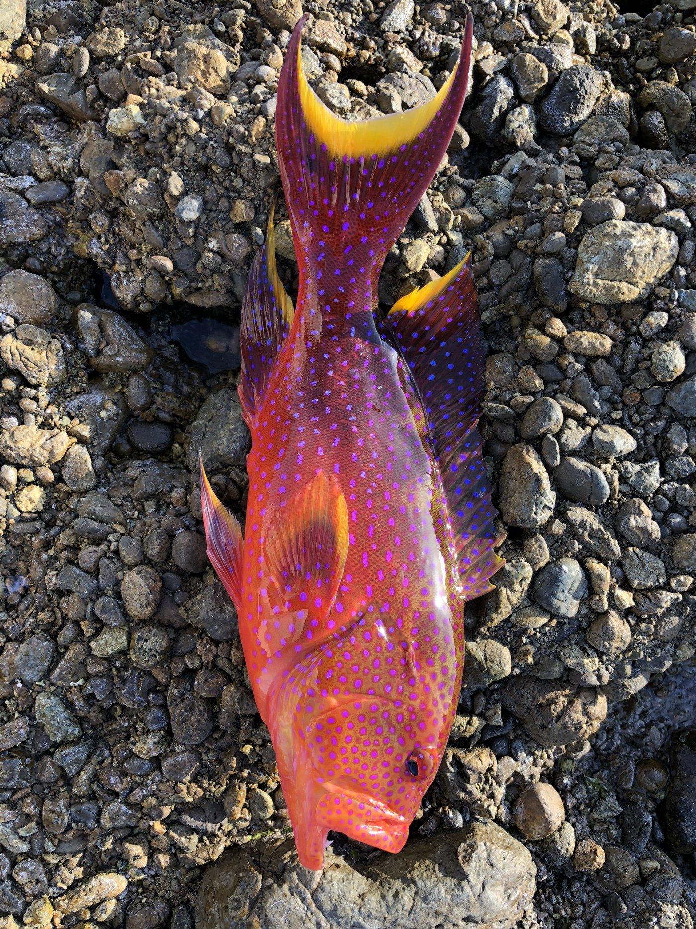 チーターさんさんの投稿画像,写っている魚はバラハタ