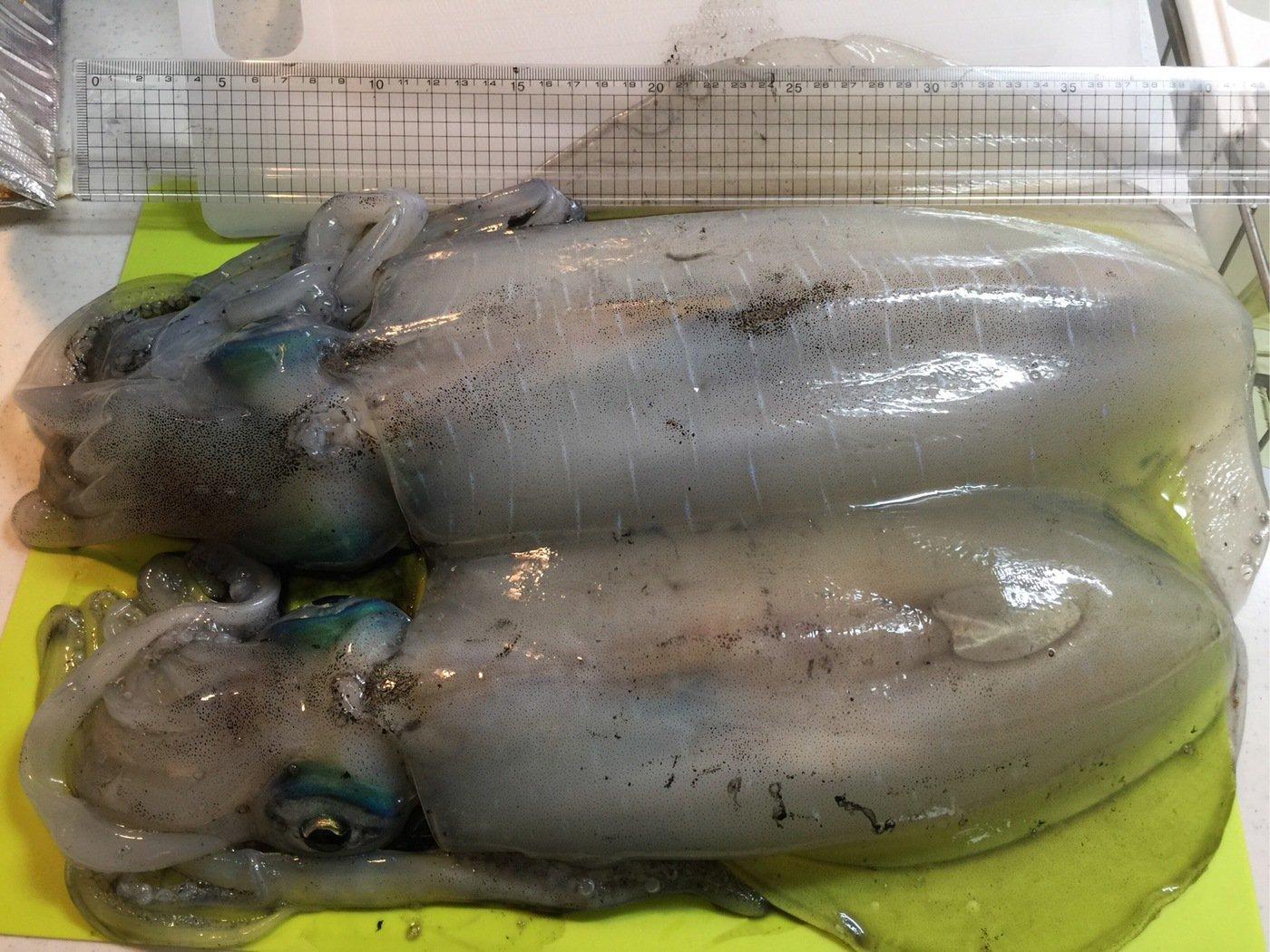 Keychさんの投稿画像,写っている魚はアオリイカ