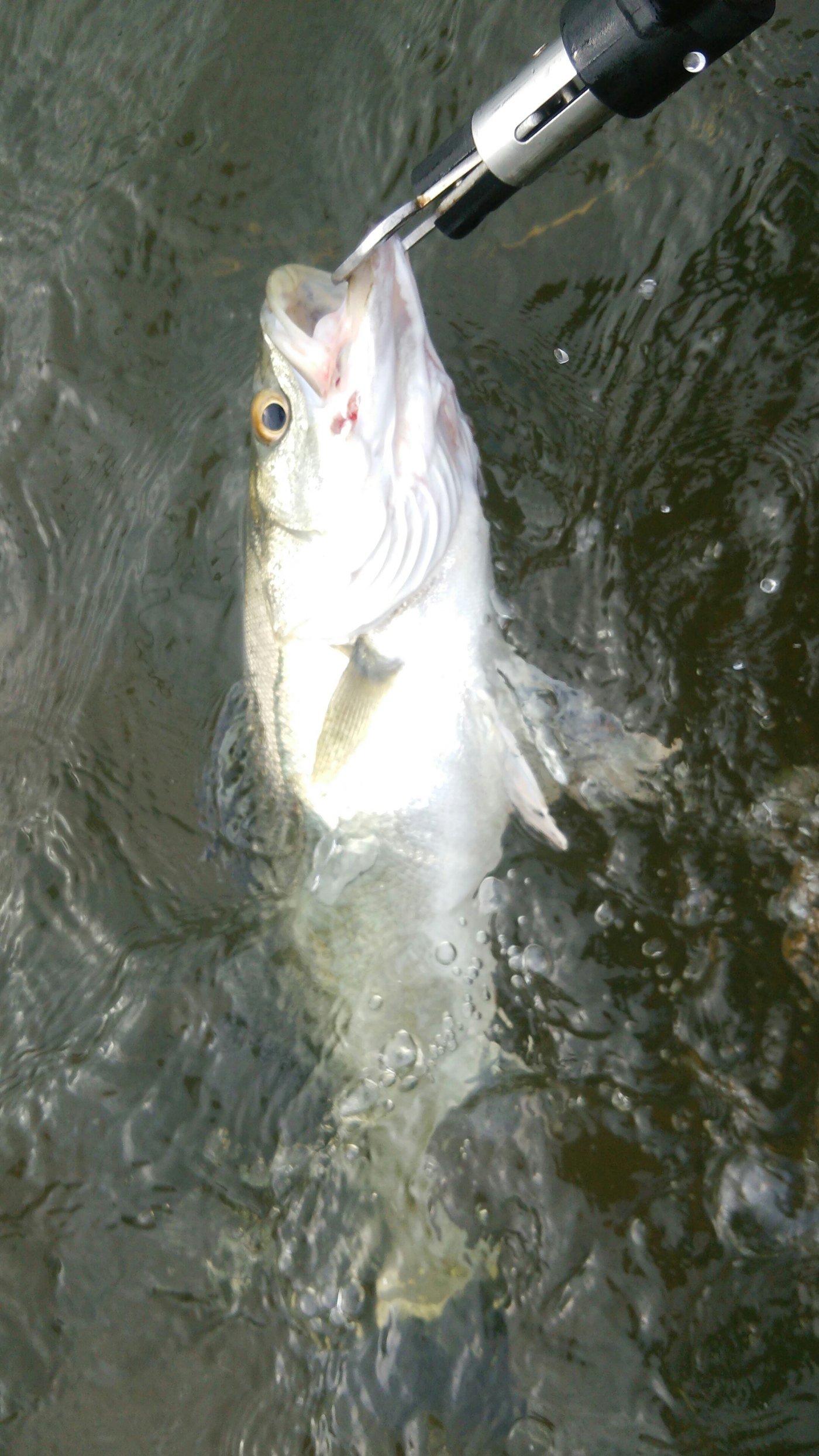 田村 雄さんの投稿画像,写っている魚はスズキ