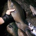 #釣りじじいさんのクロメジナの釣果写真