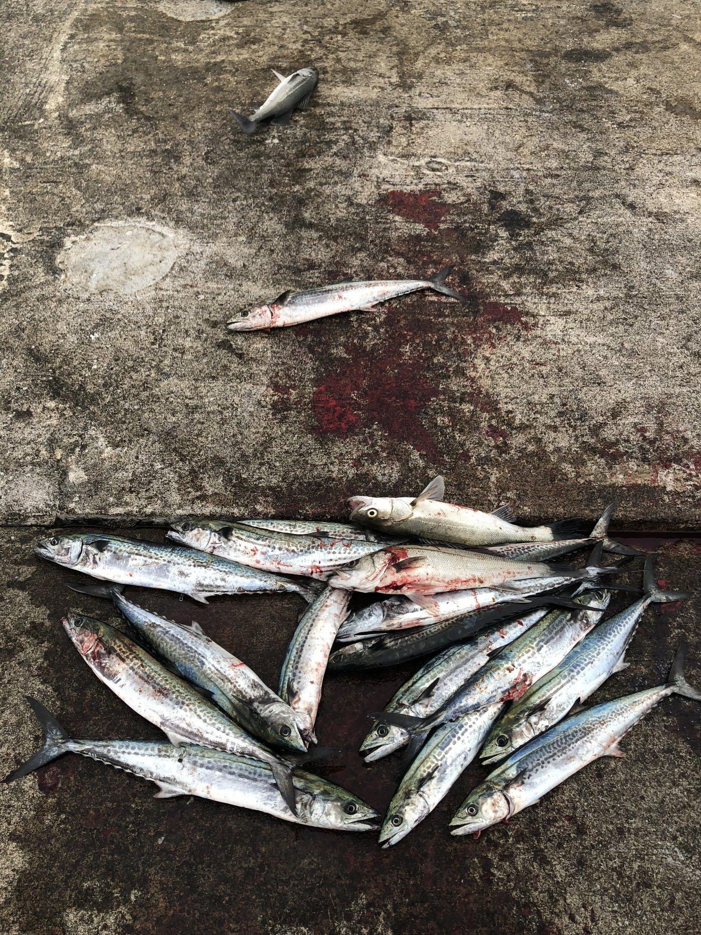 たかさんの投稿画像,写っている魚はサワラ,スズキ