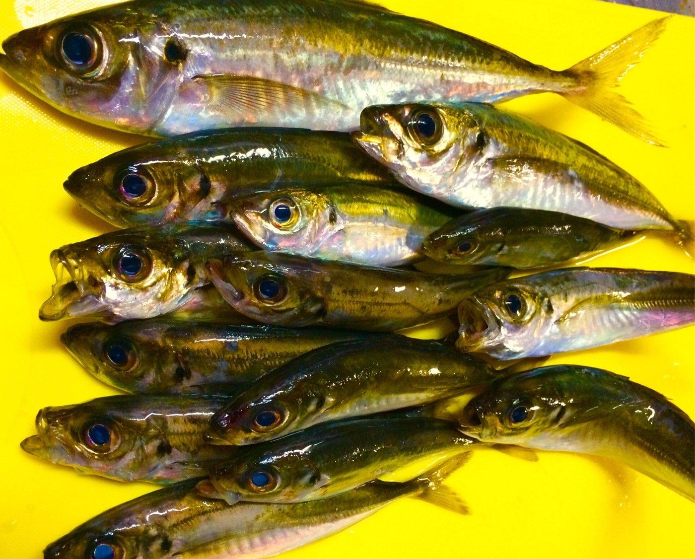 Ryuさんの投稿画像,写っている魚はアジ