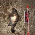 マサちゃんさんの兵庫県高砂市でのメバルの釣果写真