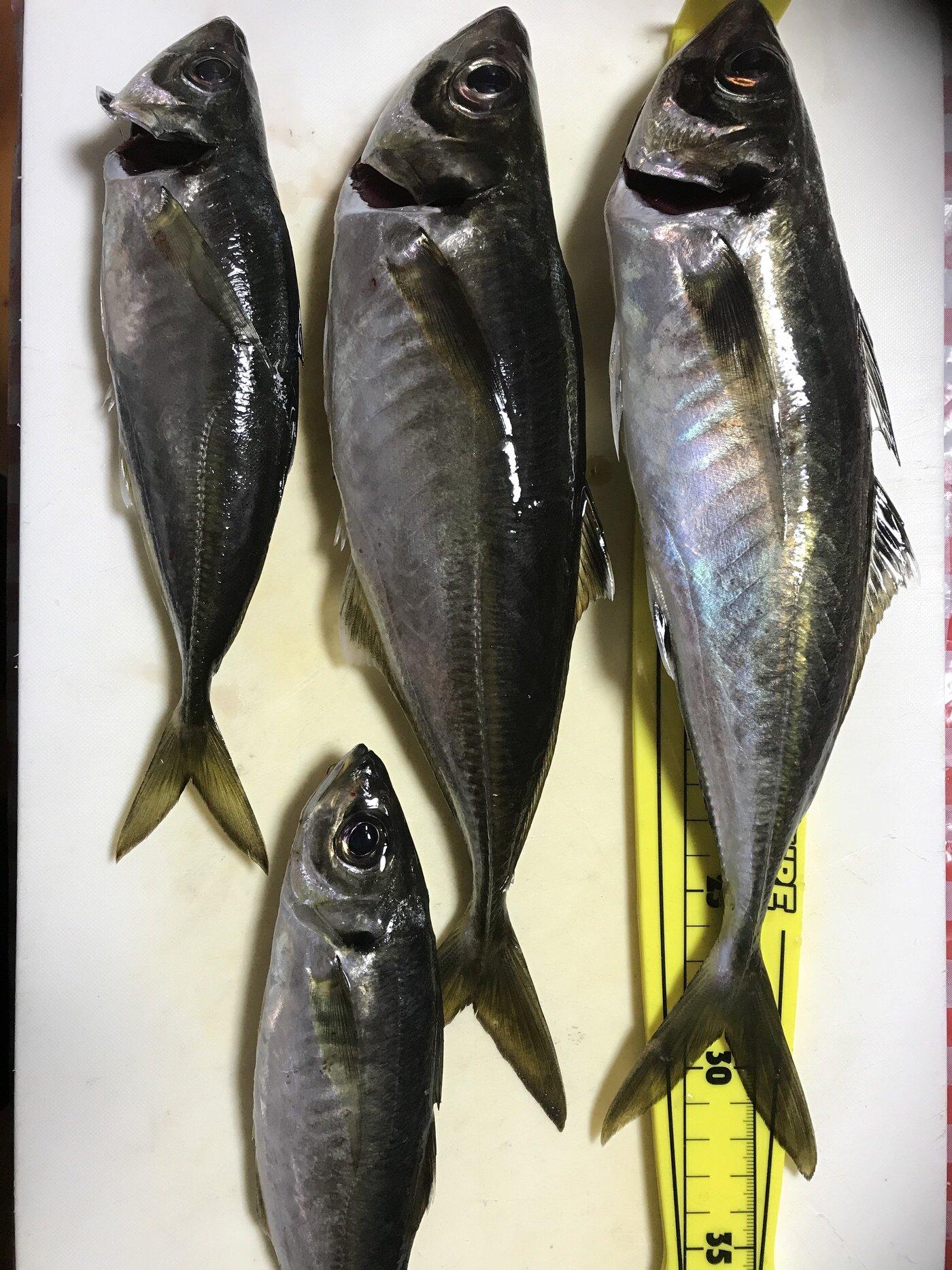 英信さんの投稿画像,写っている魚はアジ