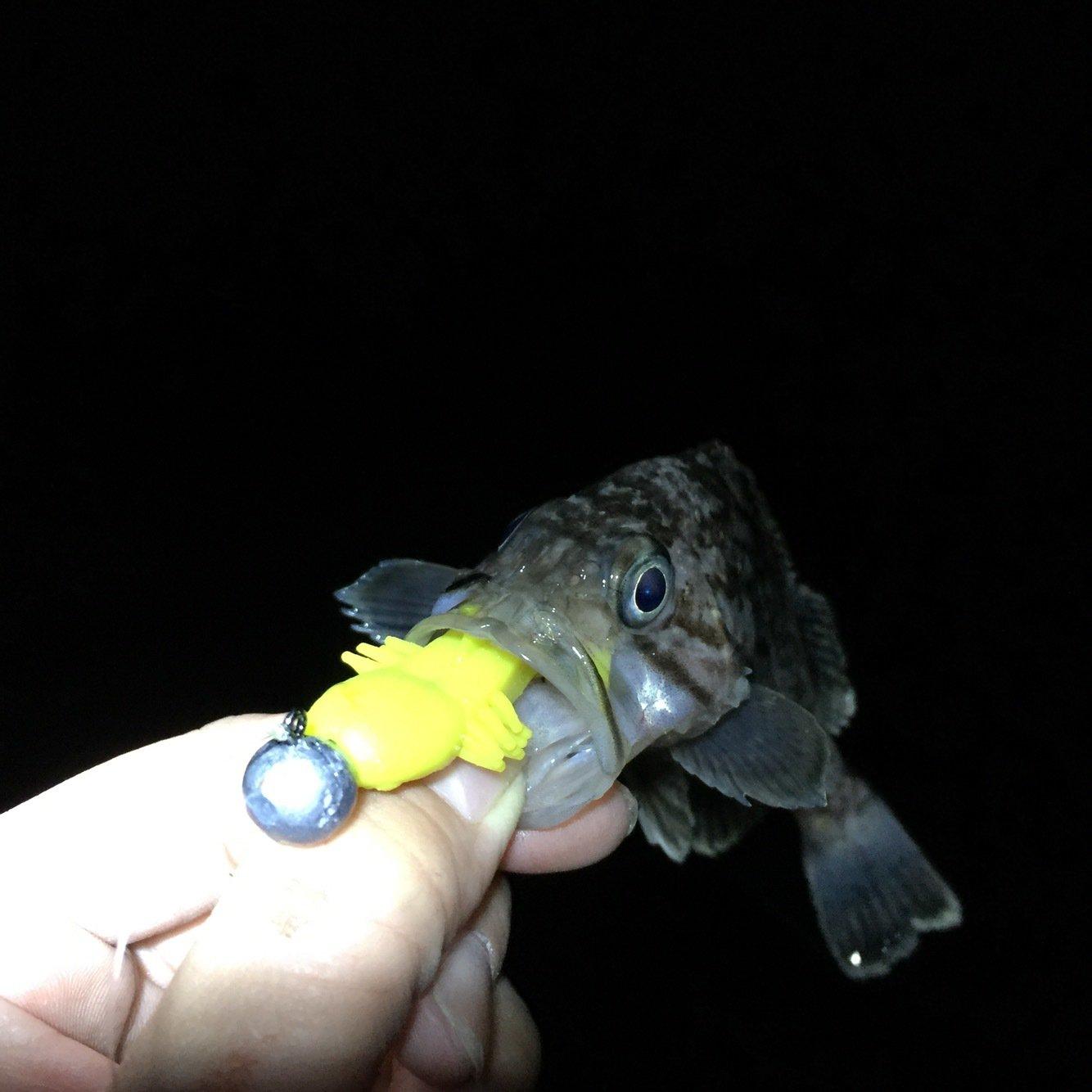 Tommyさんの投稿画像,写っている魚はソイ