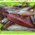 よーすけ。さんの神奈川県三浦郡でのヤリイカの釣果写真